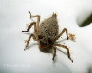 Czteroplama (Libellula quadrimaculata)